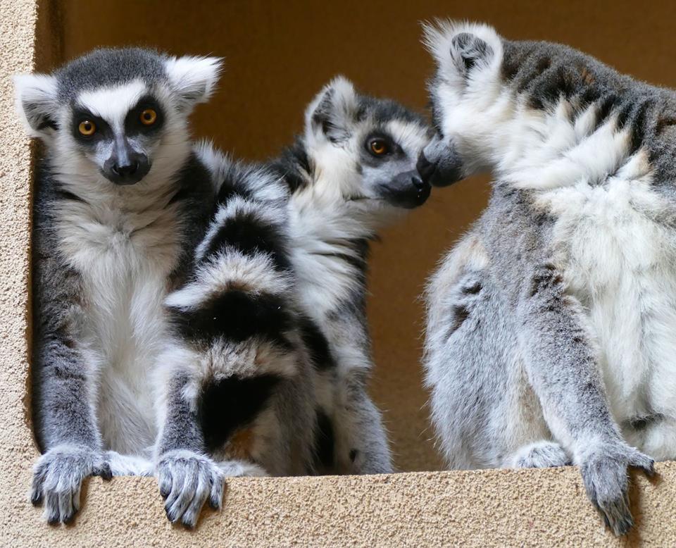 trevor zoo lemurs